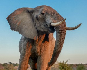 Elephant at Safari Lodge Water Hole Aug 2014_24