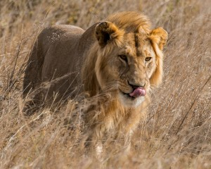 Serengeti Lions Aug 2014_17